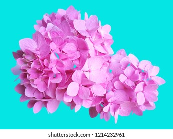 Dicut Isolated Hydrengea or Hortensia on Blue Background