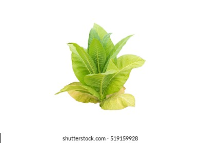 Dicut tobacco plant on white background.