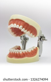Didactic typodont for dental study