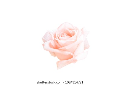 die cut of pink rose isolated on white background, soft light