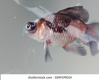 died telescope eye goldfish