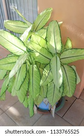 Dieffenbachia or dumb cane or dumb cane plant in the flowerpot