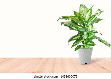 Dieffenbachia or dumbcane isolated on white background in flower pot. Dieffenbachia seguine, also known as dumbcane is a species of Dieffenbachia native to the tropical Americas