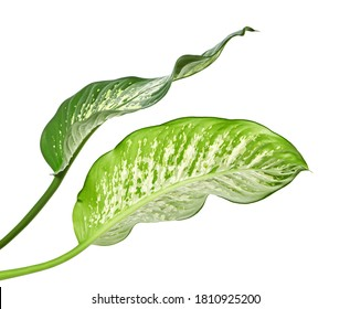 Dieffenbachia leaf (dumb cane), Green leaves containing white spots and flecks, Tropical foliage isolated on white background, with clipping path