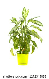 dieffenbachia on white background
