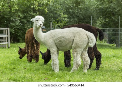Diego and friends after shearing.