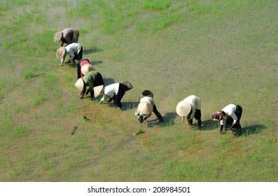 Dien Bien Phu, Dien Bien, Vietnam, July 9, 2014: A group of farmers are planting rice in Muong Thanh field.
