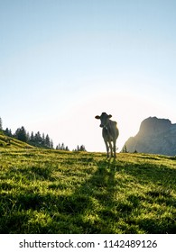 Diese Kuh stand perfekt auf der Weide.