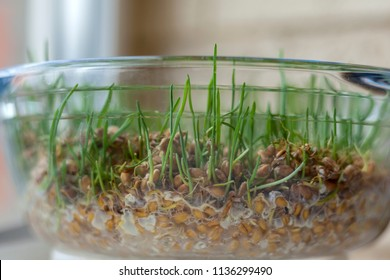 diet food, germinated wheat grains on the plate
