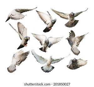 different actions of flying pigeon isolated on white background
