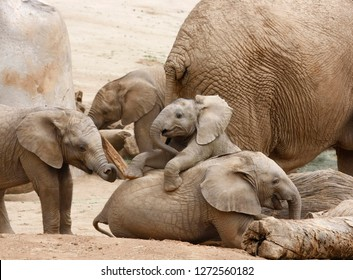Different Age Baby Elephants Playing Together in the Shadow of an Adult
