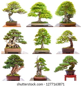 Different bonsai trees conifers and deciduous trees on white isolated