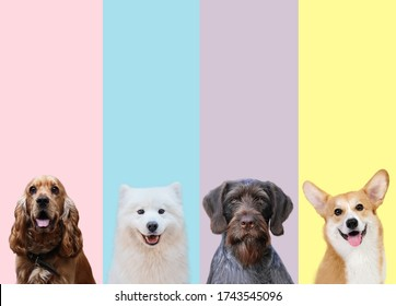 Different breeds of dogs - Drathar, English Cocker Spaniel, Samoyed, Welsh Corgi on the different isolate background shows the mood of the happy dogs
