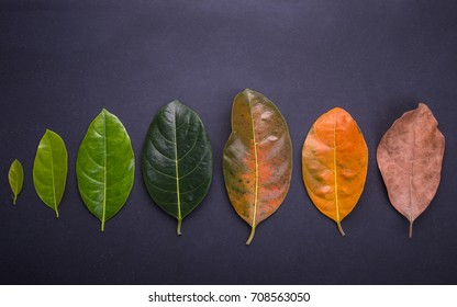 Different color and age of leaves of the jackfruit tree leaves from fresh green to dry brown on black stone background. For environment changed concept. Top view