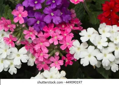 Different color Garden Verbena blooming (Verbena tenera)