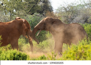 different colored elefants fighting in samburu kenia