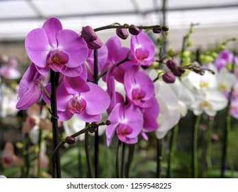 Different colors of orchids plants in greenhouse
