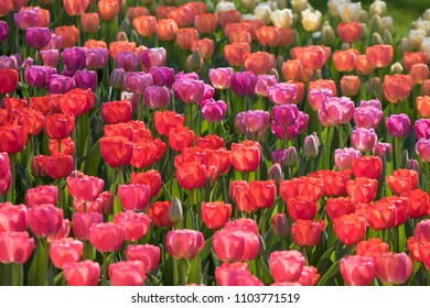 Different colors of tulips for background