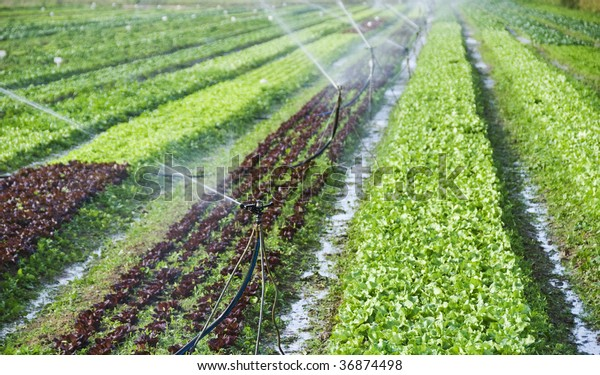 Different coloured lettuce in rows on a farm field