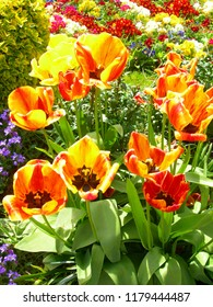 Different colourful spring flowers in a meadow with main focus in tulips.