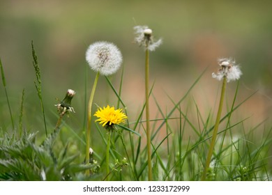 different generation of dandelions from abloom to withered in the meadow
