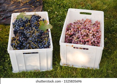 Different grape varieties for winemaking or sale in boxes during the harvest. Black and pink table grapes. Grape variety - Cardinal, Cabernet Franc, Cabernet Sauvignon, Merlot, Nebbiolo, Pinotage.