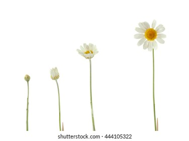 Different growth stages of white daisy on white background