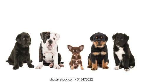 Different kind of breed puppies isolated on a white background, black labrador, english bulldog, chihuahua,rottweiler and a rottweiler puppy