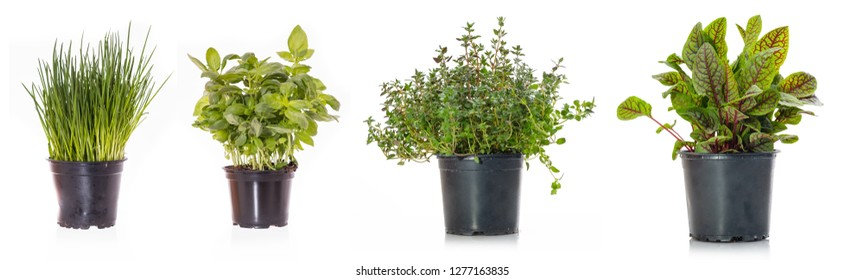 Different kitchen herbs chives basil and thyme in a pot