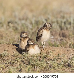 A Different Point of View - One burrowing owl tilts its head sideways to get a better view of its new world. Commerce City, Colorado.