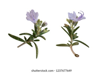 different rosemary elements isolated on a white background