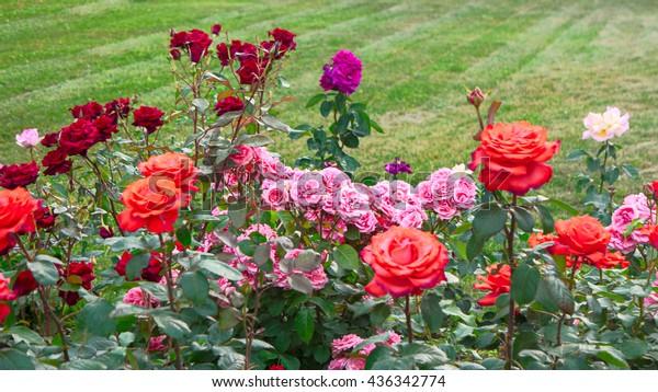different-roses-rose-garden-copyspace-60