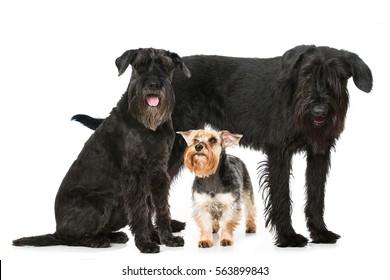 Different schnauzer dogs