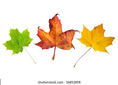 different stage autumns senescence of maple leaves isolated on white