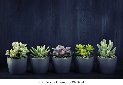 Different succulents above the black wooden backgriund