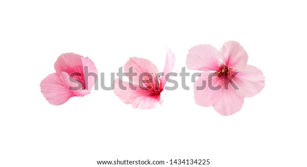 Different three sakura flowers isolated on white background.  Cherry blossom spring design.