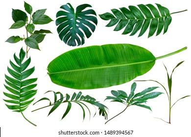 Different tropical leaves isolate on white background with clipping path included. Tropic green banana leaf, palm, jungle plant, monstera vegetation foliage for design elements summer backgrounds. - Shutterstock ID 1489394567