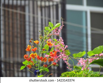 Different types of flowers coexist in nature. Pink Coral vine and purple pea flowers are ivy, Creeping up on peacock flower.