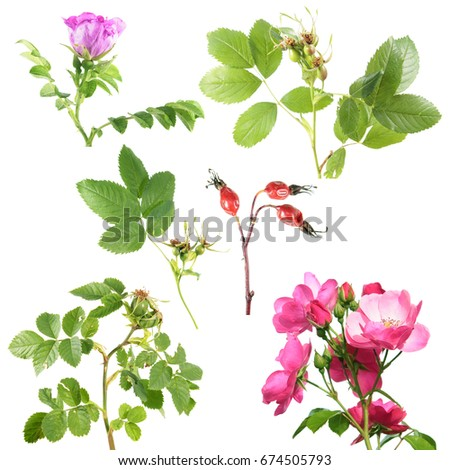 Different Types Rose Flowers Rose Hips Stock Photo Edit Now