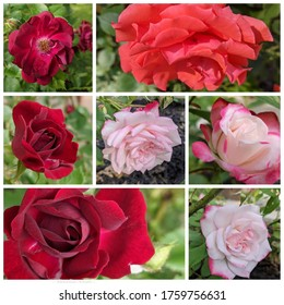 Different types of Roses in a collage.