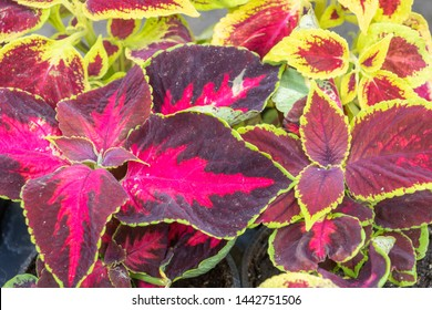 different varieties of red and purple leafy coleus with green and green and red borders