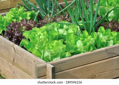 different varieties of salad in a vegetable patch