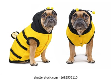 Different views of French Bulldog wearing a cute and funny striped bee dog costume with hood and antlers and wings on back isolated on white background