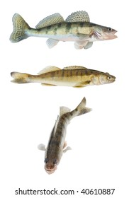 Different zander or pikeperch collection isolated on white