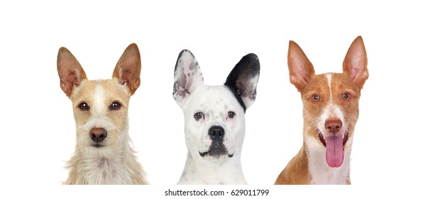 Differents dogs looking at camera with its big ears up isolated on a white background