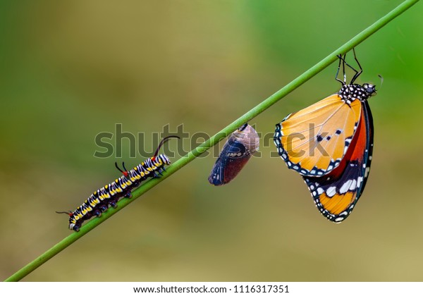 Differing stages of life from caterpillar to cocoon to butterfly