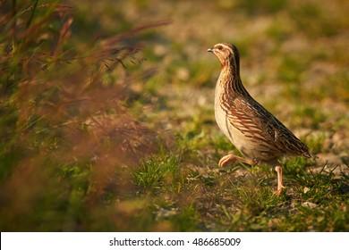 Obtížné vidět malé, pozemní hnízdění zvěř pták, Coturnix coturnix, Common křepelka, v typickém prostředí, běh skrývat, volně žijící zvířata fotografie. Vysočina, Česká republika.