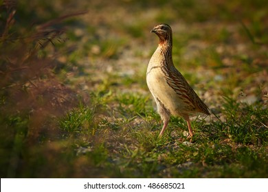 Difficult to see small, ground-nesting game bird, Coturnix coturnix, Common quail, in typical habitat, wildlife photo. Highland, Czech Republic.