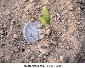 In Diffuse Lighting A Sprout Growing Alongside United States Morgan Silver Dollar Partially Covered With Dirt