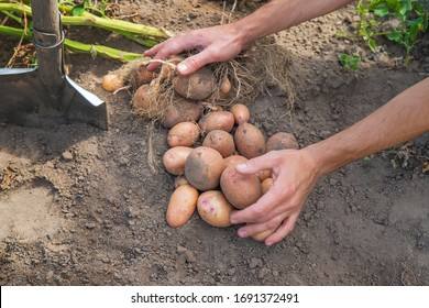 Dig potatoes in the garden. Selective focus. nature